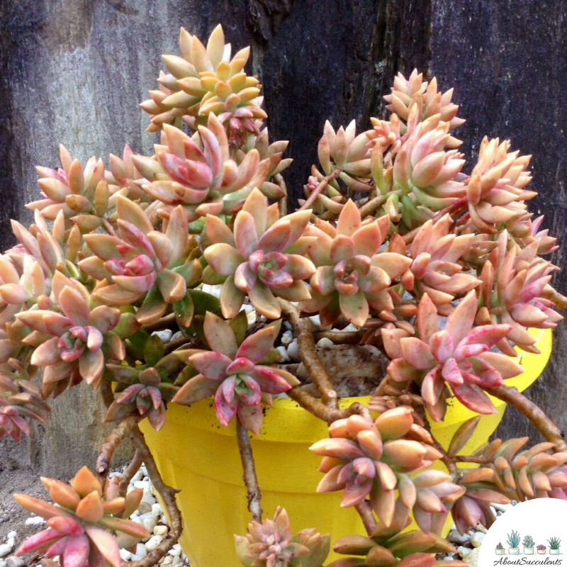 Sedum Adolphii care and grow