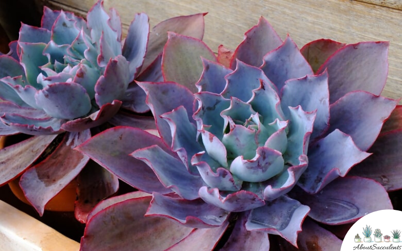 Echeveria Afterglow grow and care